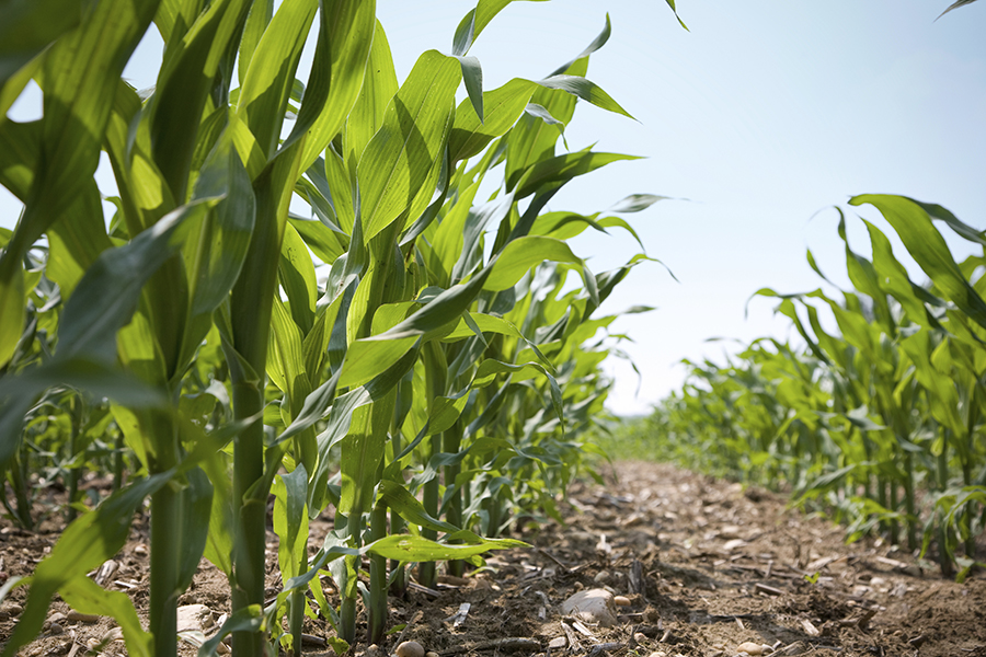 esn use on corn