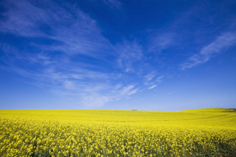 Canola-Blue-SKy-scaled-e1582232311497