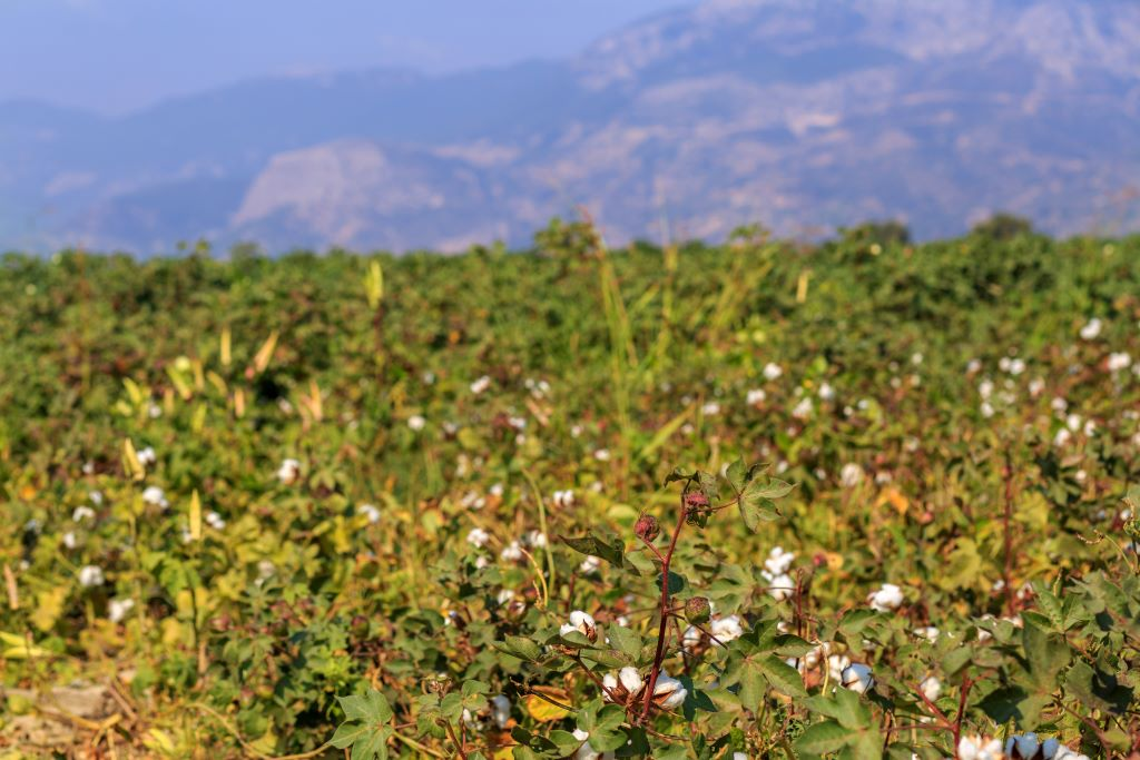 yellowing cotton crop in field